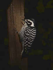 Nuttal's woodpecker (Picoides nuttallii)