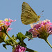 Orange Sulphur on Lantana