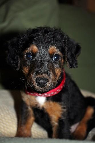 Poppy Puppy - 8 weeks old - 2017