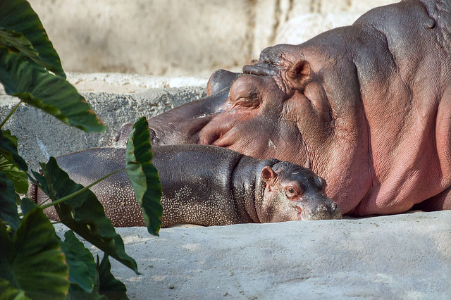Baby Hippo and Mommy.