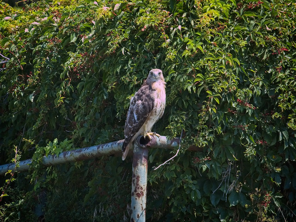 Light-eyed red-tailed hawk