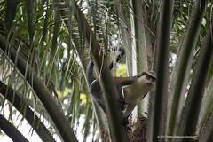 Mona monkeys love oil palm