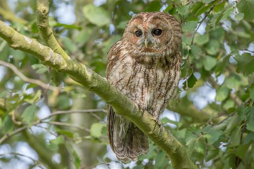 JWL0257  Tawny Owl..