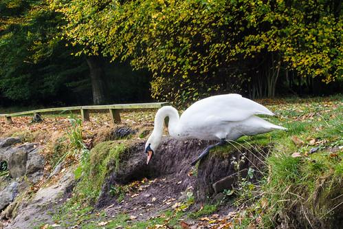 A struggling swan