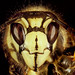 Bald-faced Hornet by jackdean3