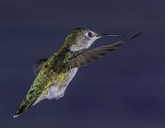 Female Anna's Hummingbird On A Mission
