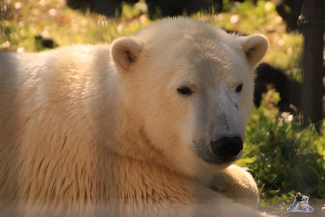 Eisbär Fiete im Sosto Zoo 01.10.2017 008
