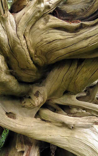 Twisted driftwood Van Dusen Gardens