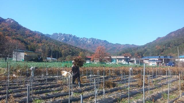 가을 풍경 | 고추밭