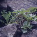 Small photo of Lovage and mayweed. Muck on gabbro