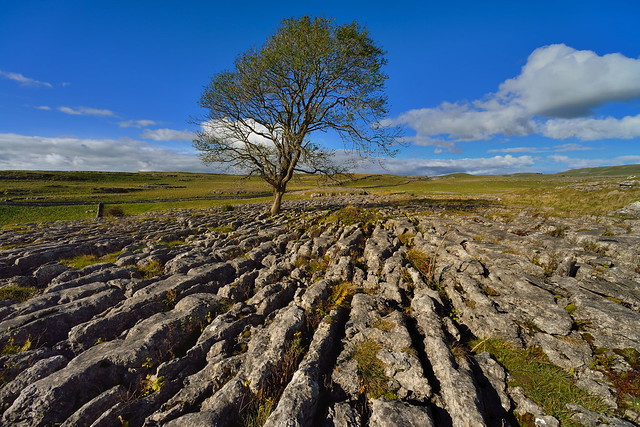 Limestone loner