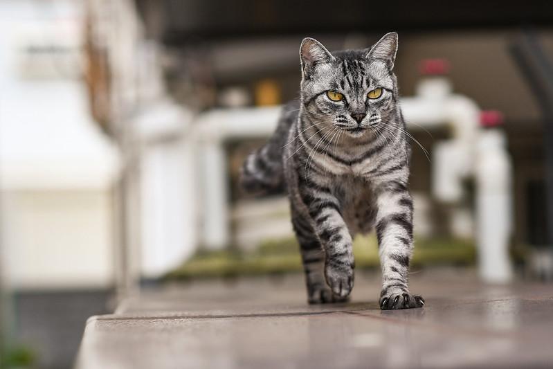 あくびを終えて歩くネコ2枚目
