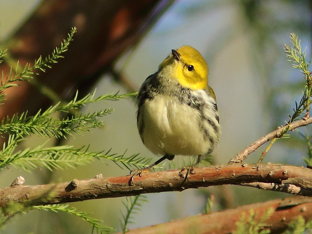 Black-throated Green Warbler 03-20171009