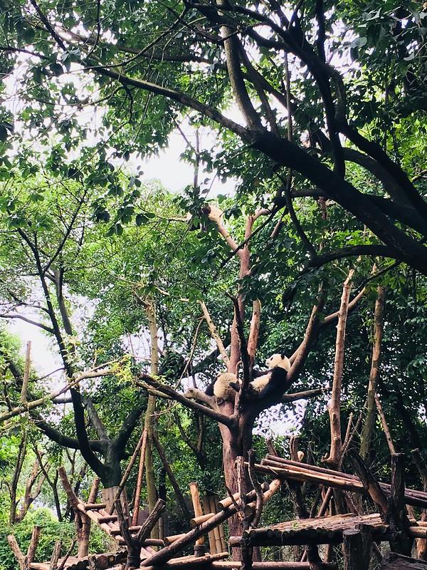 四川成都大熊貓繁育研究基地, 四川成都旅遊必訪景點, 可參觀各種可愛的大熊貓