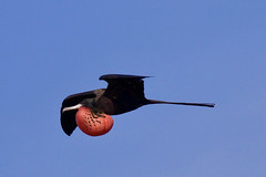 Magnificent Frigatebird Inflight and Inflated