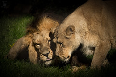Asiatic Lions showing social behaviours