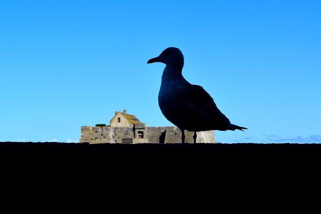 Seagull at St. Malo | www.rachelphipps.com @rachelphipps