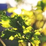 2017:10:30 17:24:53 - Herbst Sonnenlicht Blätter