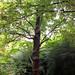 Kenwood Tree