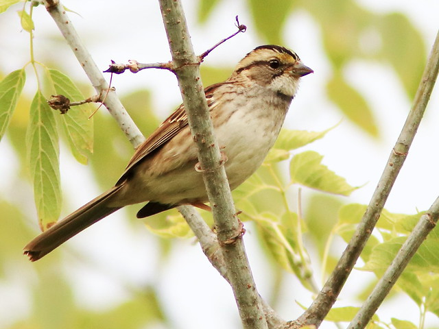 White-throated Sparrow 20171002