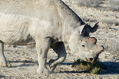 A Dehorned Rhino...