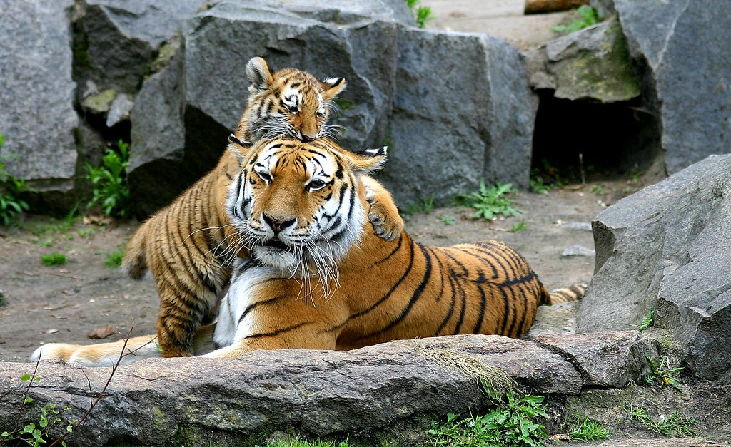 Tiger kingdom