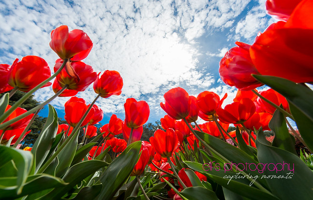 All about tulips...