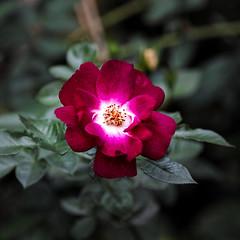 2017 autumn rose