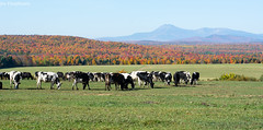 Cows in front of Mount Katahdin during fall