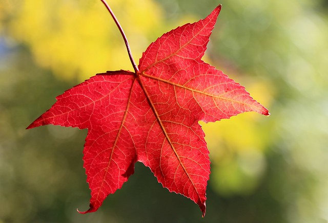 Sweetgum: flaming red autumn