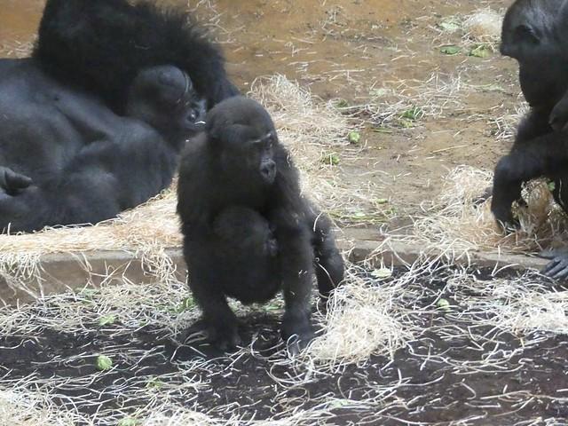 Gorillas, Zoo Hannover