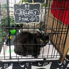 Belfry is here to haunt your house forever! Meet her and the rest of the gang until 5 today @muddypawsny with @northbrooklyncats and @whiskers_agogo #adoptionevent #blackcatsrule