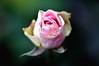 Krankl Rose