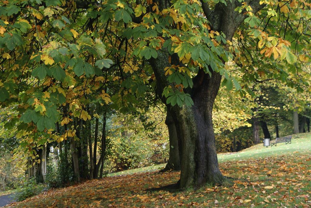 Larges feuilles d'un marronnier dans le Kelvingrode park à Glasgow.