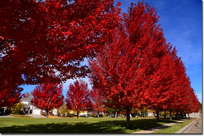 2017 Maple in Fall, Boulder, Colorado  (27)