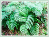 Cibotium barometz (Golden Chicken Fern, Scythian Lamb, Woolly Fern, Golden Moss, Bulu Pusi in Malay)