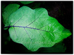 Large, green, petiolate and coarsely lobed leaf of Solanum melongena (Brinjal, Eggplant, Aubergine Terong in Malay), 29 Sept 2017