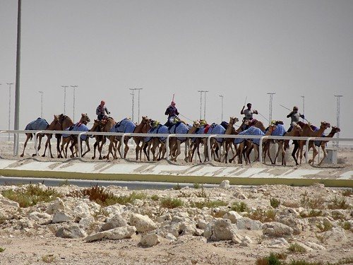Camel Racing Practise in Al-Sheehaniya