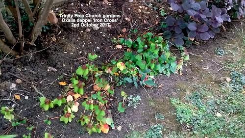 Trinity Free Church gardens - Oxalis deppei 'Iron Cross' 2nd October 2017