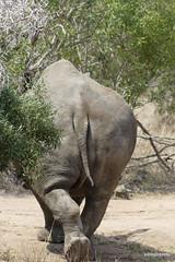 White Rhino, Mkhaya  (19)