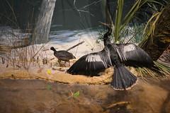 Bradenton, FL - South Florida Museum - Riverine Gallery - Anhinga and Coot