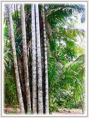 Oncosperma tigillarium (Nibung Palm, Nibong Palm, Nibung, Nibong) seen growing @ Rimba Ilmu Botanic Garden in Selangor, Malaysia - 1 Aug 2009