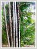 Oncosperma tigillarium (Nibung Palm, Nibong Palm, Nibung, Nibong)