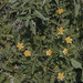 Small photo of Tribulus terrestris, Achyranthes aspera. Pagoda Island.