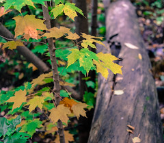 Fall Foliage, Chester Creek, Duluth 9/23/17 #leaves #log