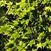 Maple Leaves, Batsford Arboretum, Gloucestershire, 29 October 2017