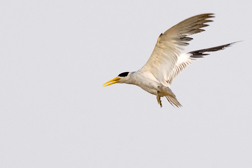 Pantanal: Large-billed Tern 1