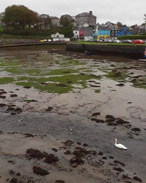 Swan at low tide. Kinvara, Ireland. . #Kinvara #Ireland #Eire #travel #cycle #burnfatnotoil #autumn #lowtide