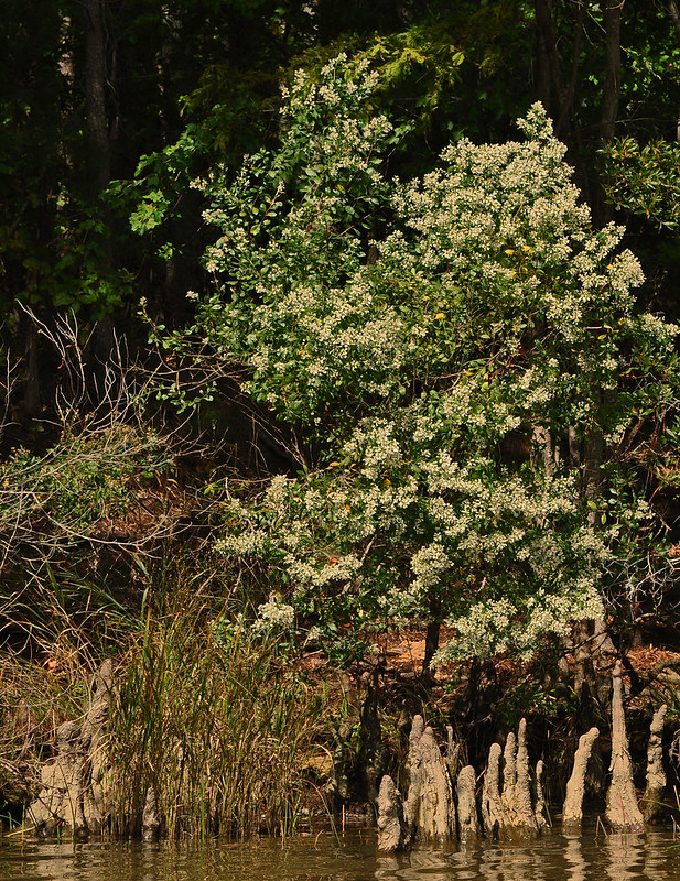 Chickahominy River with Baccharis halimifolia (Salt Bush) 10-7-17 (6)