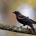 Red-winged Blackbird-41373.jpg